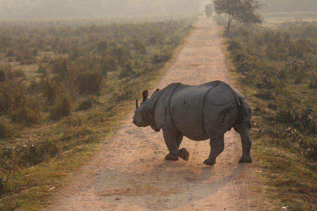 Rhinoceros in Kaziranga