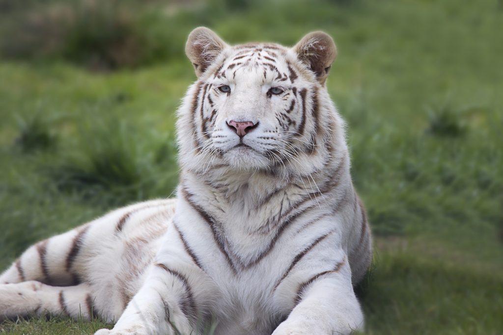 tigers at sunderbans national park